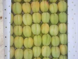 Абрикос сорт шалах (ананасный) из Узбекистана