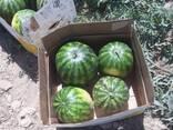 Арбуз урожай 2021г. Узбекистан, Казахстан - фото 3