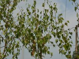 Береза бородавчатая Лациниата (Betula pendula Laciniata)
