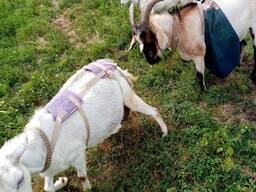 Бюстгальтер для козы