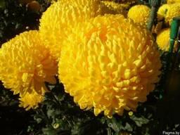 Цветы для букетов Хризантема