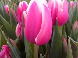 Цветы тюльпана к 8 марта