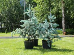 Ель голубая колючая хупси (Hoopsii) от 70 до 80 см С5