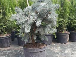 Ель голубая колючая Ольденбург (Picea pungens 'Oldenburg). ..
