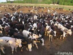 Фермерское хозяйство закупает КРС быков, коров, молодняк