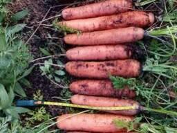 ФХ продает морковь столовую с тофяника. 200тонн