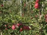 Продам яблоко свежее - фото 2