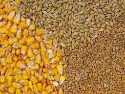 Фураж (пшеница, ячмень, овес, тритикале). Цена договорная.
