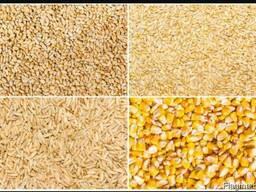 Фуражная кукуруза, пшеница