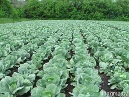 Гербициды для капусты