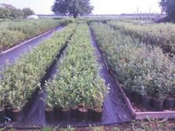 Голубика садовая саженцы