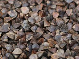 Гречиха - семена - сорт: Анита, Лакнея, Светлана