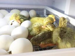 Инкубационное утиное яйцо