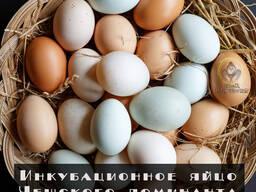 Инкубационное яйцо Чешского Доминанта под заказ