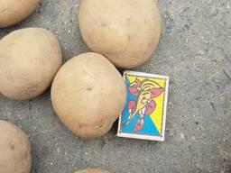 Картофель РБ (экспорт)
