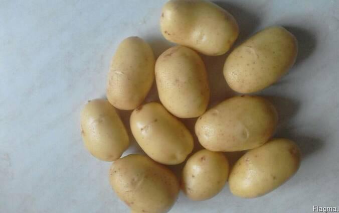 Картофель продовольственный молодой