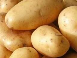 Картофель продовольственный урожай 2017 года