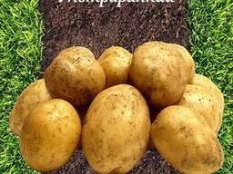 Картофель семенной сорт Ривьера 2 репродукция