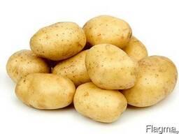 Картофель сорт Скарб