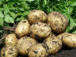 Картофель урожая 2018