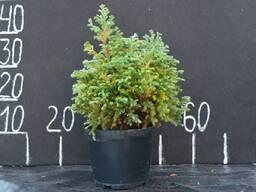 Кипарисовик горохоплодный (bouleward) 0. 4- 0. 5м