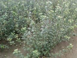 Клоновые подвои яблони - фото 2