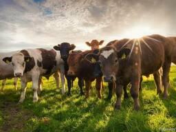 Быки Коровы от 10 голов