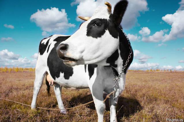 Крупно-рогатый скот