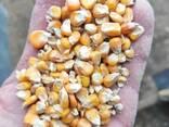 Кукуруза фуражная 2019 года - фото 2
