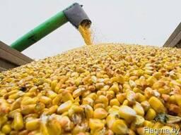 Куплю ячмень, кукурузу фуражную!!! РБ