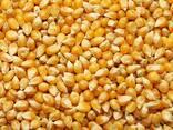Кукуруза ДН Пивиха ниже цены производителя - фото 1
