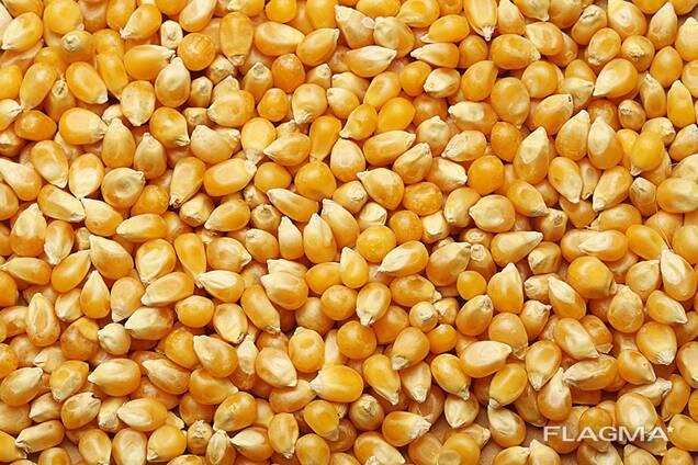Кукуруза ДН Пивиха ниже цены производителя