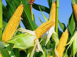 Кукуруза фуражная
