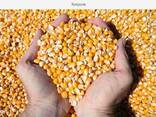 Кукуруза Фуражная в мешках по 30 кг - фото 1
