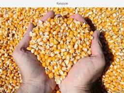 Кукуруза фуражная в мешках 30 кг
