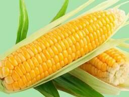 Кукуруза семена, Гибрид F1, Родник 179 СВ