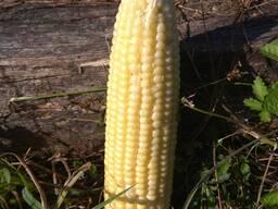 Кукуруза сладкая и свежая в любом количестве .