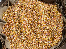 Купим большие объемы кукурузы