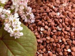 Купим оптом от 20т гречиха, семена редьки и фацелии