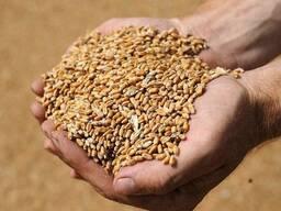 Куплю фуражное зерно оптом.