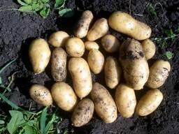 Куплю картофель Королева Анна, Родрига, Гала