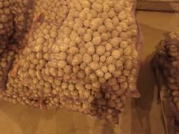 Куплю картофель семенной