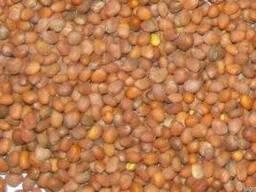 Куплю семена редьки масличной