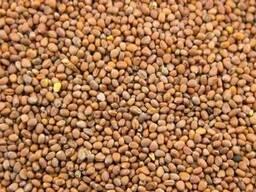 Куплю семена редьки масличной Дорого