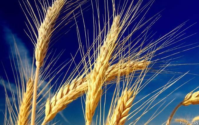 Куплю ячмень, пшеницу, тритикале, овес