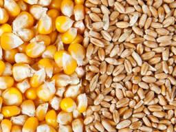 Продам! Рапс, зерно, кукурузу, гречиху, зерносмесь.
