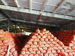 Лук репчатый оптом от фермера 12р/кг