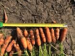 Морковь - фото 3