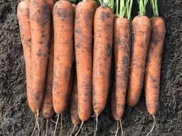 Морковь сетевого качества
