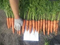 Морковь столовая и некондиция